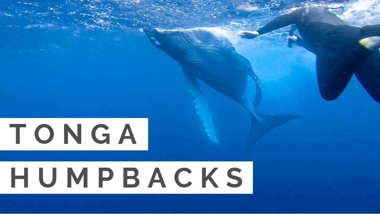 TOUCHED THE HUMPBACK'S TAIL and GOT WHIPPED | Swimming with Humpback Whales in Tonga | GoPro